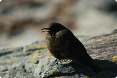 Argentina Discovery - The Black Remolinera was considered as a species that inhabited the Falkland Islands Flight Feathers, Sea Birds, Bird Species, Lake District, Mammals, Habitats, Discovery, Islands, Argentina
