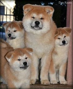 Akita Puppies, Akita Dog, Puppies And Kitties, Cute Puppies, Cute Dogs, Lab Puppies, Japanese Dog Breeds, Japanese Dogs, Beautiful Dogs