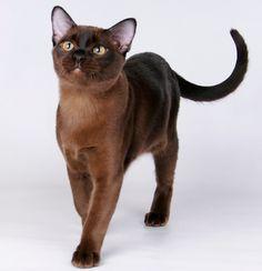 бирманская короткошерстная кошка - Поиск в Google
