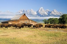 Wyoming barn with a herd of buffalo.