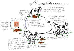 Strongyloides threadworms