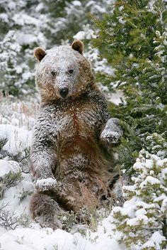 follow me @cushite bear in snow share moments