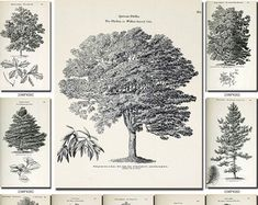 Collection of 359 black-and-white vintage TREES Tupelo Tree, Laurus Nobilis, Mulberry Tree, Printable Pictures, Tree Illustration, White Picture, Drawing Practice, Antique Maps