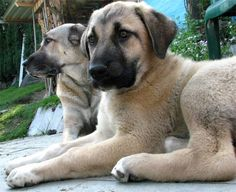 Turkish Kangal