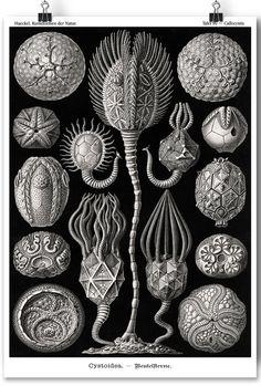 Extinct Echinoderm Ernst Haeckel Scientific by AdamsAleArtPrints