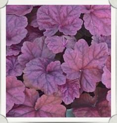 Heuchera 'Lava Lamp' Coral Bells-Completely flat leaves that emerge in the spring with a coppery tone and then deepen to a nice purple. The scapes of the flowers lead to a nice creamy colored flower. Hummingbirds love it