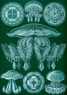 Kunstformen der Natur (1904), plate 88: Discomedusae