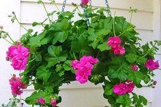 Gardening Decor – Make your garden beautiful Container Gardening Vegetables, Succulents In Containers, Container Flowers, Container Plants, Vegetable Gardening, Geranium Plant, Geranium Flower, Hanging Plants Outdoor, Indoor Plants