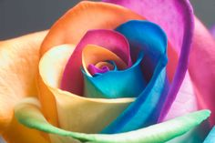 Happy Rose...interesting!