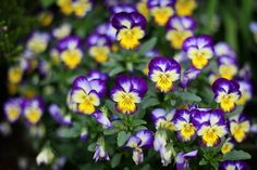 outdoormagic:    Cheery Flowers by Jean Loper Photography on Flickr.