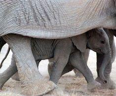 stephsmom — lalulutres: baby elephant looks so happy