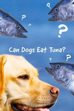 Is tuna good for dogs or bad for them? Can dogs eat tuna fish if its canned or with mayo? Find all the answers in this complete guide to dogs and tuna. Puppy Treats, Puppy Food, Puppy Feeding Schedule, Summer Dog Treats, Tuna Dog, Raw Feeding For Dogs, Make Dog Food, Dog Health Tips