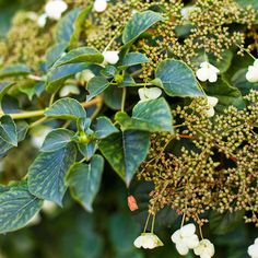 Creamy white blooms decorate the vines of this self-adhering plant, which can reach an astonishing 60 feet long. However, climbing hydrangea (Hydrangea petiolaris), hardy in Zones 4-8, is easy to prune and rewards with those springtime flowers as well as a stunning autumn color transformation, when the green leaves turn to a bright yellow.