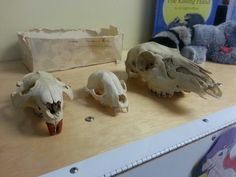 Seems gross but it's a great science activity. Herbivore vs carnivore teeth. The beavers teeth are wood stained.