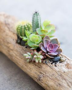 Only a few spots left for our Cacti Driftwood Arrangement workshop this Sunday! Click the link in our bio to save your seat before it's too… Growing Succulents, Cacti And Succulents, Planting Succulents, Cactus Plants, Planting Flowers, Succulent Gardening, Succulent Terrarium, Container Gardening, Cactus Flower
