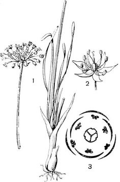 аллиум ботаническое описание диаграмма цветка: 14 тыс изображений найдено в Яндекс.Картинках