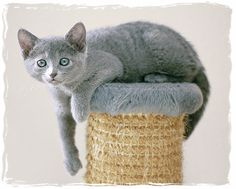 Russian Blue Kitten :) we've just adopted a Russian blue kitten. We pick her up on the 27th :)