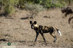 Members of the Toulon Pack of wild dogs were found trying their luck with a baby buffalo who was being guarded by the bigger bulls.