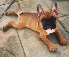 Red Fawn Frenchie