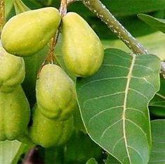 Haritaki or Myrobalan;  Unripe fruits are green, slowly turning yellow or brown depending on the variety. The fruits best for consumption are those that fall from the tree unaided. Expect the skin of some fruits to be wrinkled, brown, purplish or even black.