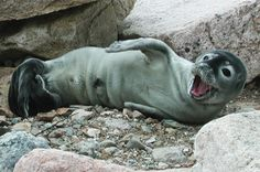 Cute+Baby+Harbor+Seals   It's harbor seal pupping season again, and experts remind people to ...