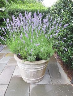 Buy Flowers Online Same Day Delivery Potted Lavender - Ina Garten Potted Lavender, Growing Lavender, Lavender Planters, Patio Plants, Cool Plants, Potted Plants, Landscaping With Rocks, Garden Landscaping, Front Door Plants