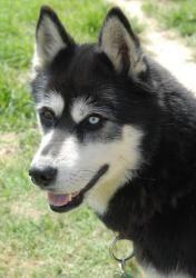 Adopt Bailey On Siberian Husky Dog Dogs Husky