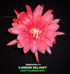 Epiphyllum hybrid 'London Delight'