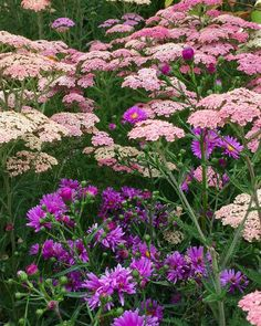 @chanteclergardens Pink Achillea with the first Asters of the year