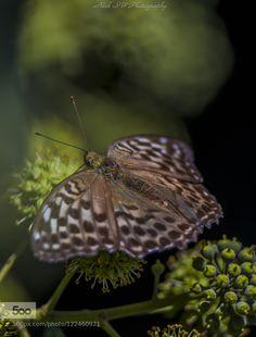 Sjesta... by NickSW #nature Butterflies Flying, Beautiful Butterflies, Single Rose, Snails, Dragonflies, Frogs, Moth, Insects, Bee