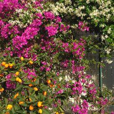 Bellissima siepe fiorita composta da rose gialle e rosse | siepe ...