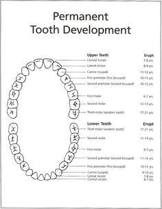 Permanent Teeth Eruption - Healthy Smiles
