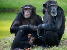 Les chimpanzés peuvent reconnaître leurs congénères seulement
