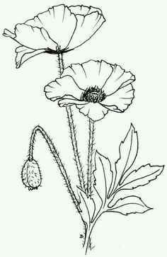 Free Anzac Poppies Printable for Australian studies line drawing of Poppies - inspiration piece for future project poppies - paint these in with water color - would be so pretty Free Printable Lest We Forget Copyright Beccy Muir 2011 drawing poppies in a Plant Drawing, Painting & Drawing, Water Drawing, Anzac Poppy, Digi Stamps, Colouring Pages, Watercolor Flowers, Watercolour, Flower Art