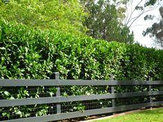 Viburnum Dense Fast Screen Tree Plants Garden