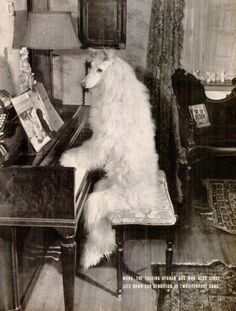 mona the talking (and singing) afghan hound performs her rendition of 'the whiffenpoof song'