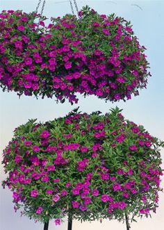 Million Bells Trailing Calibrachoa 'Trailing Pink'---for hanging baskets. Annual.