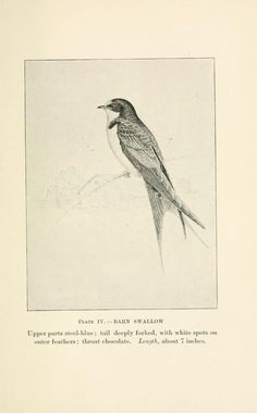 Barn swallow, Birds of Village and Field: A bird book for beginners, Florence A. Merriam, 1898.