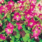 "Iron Cross Good Luck Plant Light: Full sun to partial shade Height: 6-10"" Bloom Time: Early summer to early fall Size: Bulbs Zones: 3 to 11 (overwinter frost free in zones 3 to 7)"