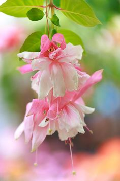 Fuchsia by Padma Inguva Fuchsia Flower, Pink Flowers, Fuchsia Plant, Amazing Flowers, Beautiful Flowers, Columbine Flower, Macro Flower, Happy Paintings, Blooming Flowers