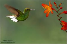 Coppery-headed Emerald by Chris Jimenez Nature Photo, via Flickr