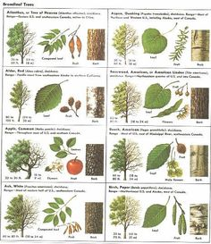 Opas puiden lehdet How Can Leaves Identify A Tree - An amazing guide to leaf identification for young children.