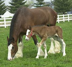 Baby+Clydesdale+Horses | Clydesdales: Cutest Baby Horses You'll See All Day! foal-cute-baby ...