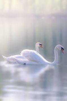 """tulipnight: """" Swan by Iris Scharfy """""""