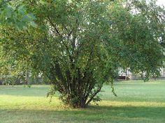 Erdőkóstoló: Fosóka szilva - valamire ez is jó Plants, Plant, Planets