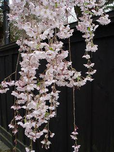 Weeping Cherry, Kakunodate, Akita, Japan