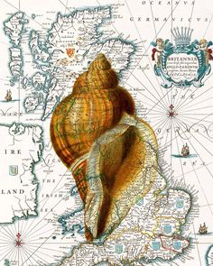 Ocean  Whelk Seashells Print