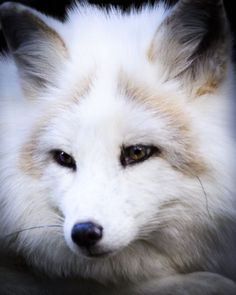 Arctic Fox by Sydney Emery - National Geographic Your Shot