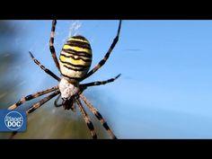 Argíope | Araña Venenosa