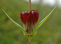 Søterot (Gentiana purpurea)
